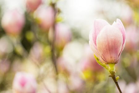 まもなく開花する木蓮
