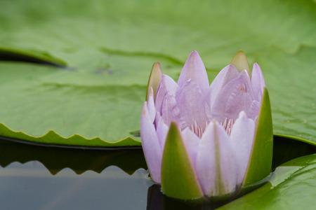 池にうかぶ薄ピンクの睡蓮