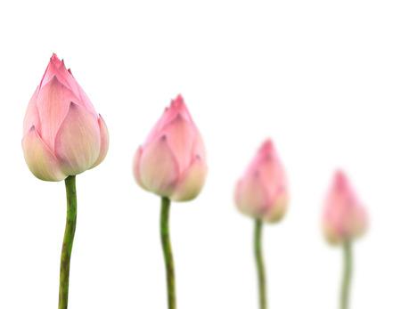 蓮のつぼみが並ぶ