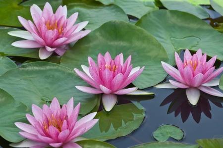池にうかぶ睡蓮