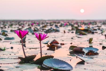 夕焼けに照らされるピンクの蓮