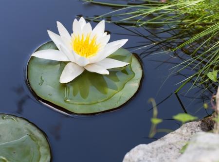 池にうかぶ白い睡蓮