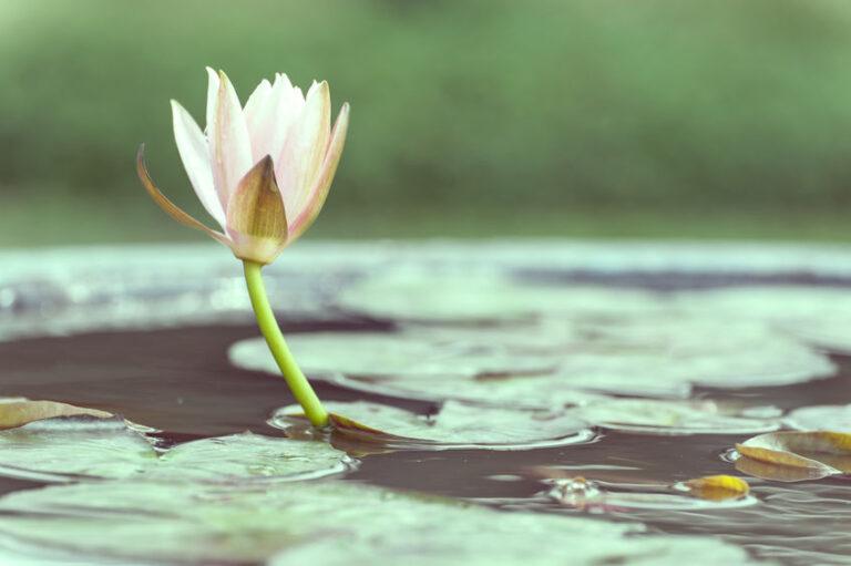池の白い睡蓮