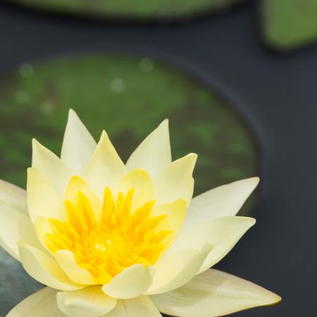 黄色の睡蓮