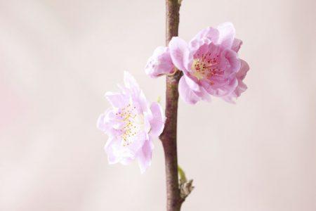 枝に桃の花